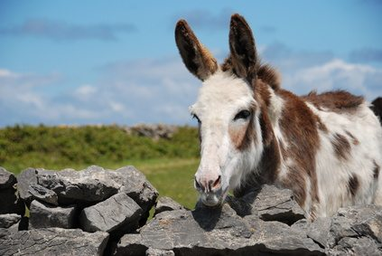 Curious Donkey in Connemara, County Galway